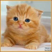 Элитные британские котята из питомника «TrickyNick»