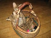 Необычные экзотические котята (сервалы).