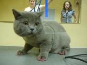 Нежные стрижки для кошечки и котика. Вычесывание. Груминг кошек → Косм