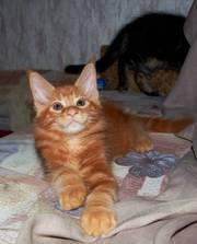Котята мейн-кун из питомника кошек Raleos*BY