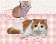 Экзотическая плюшевые котята
