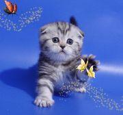 Продажа вислоухих и британских котят