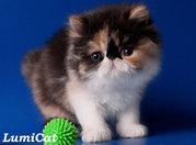 Породистые котята из питомника Lumicat/