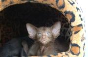 ориентальные котята,   грациозные с прекрасным характером!