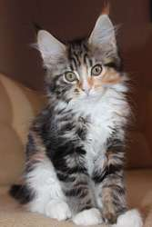 Котята породы Мейн Кун из питомника *aCOONa MATATA*BY