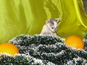 Котята корелей