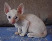 Корниш-рекс котята из питомника Basileus