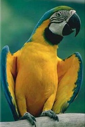 синежелтый ара