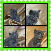 Мейн-кун котята. голубые солиды.