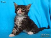 Котята породы мейн-кун. Ласковые гиганты