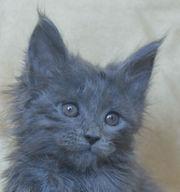 Мейн-кун котята.Голубые солиды.