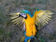 Ара араруна или синежелтый ара.