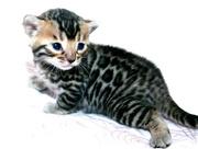 Предлягаются Бенгальские котята