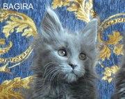 Шикарные мейн-кун котята от Европейского чемпиона!