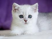 Британские котята серебристые и золотые шиншиллы из питомника