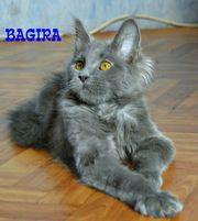 Шикарные котята от Европейского чемпиона!
