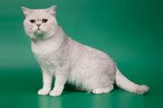 Элитные британские котята шиншиллы