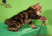 Котята курильского бобтейла! Шоу-класс!