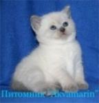 Британские голубоглазые котята окрасов блю-поинт и лилак-поинт