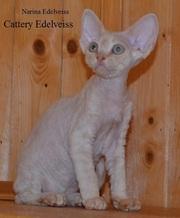 Продажа котят породы девон рекс