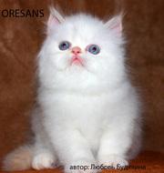 Персидские котята питомника Оресанс
