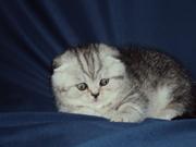 Котята  породы скоттиш-фолд(страйт)  к резервированию