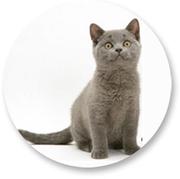 Продажа британских котят в Москве и МО с бесплатной доставкой на дом