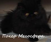 Персидский котик Покер