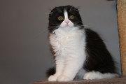 шотландские котята скоттиш страйт,  фолд,  хайленд