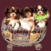 Чихуахуа шикарные,  здоровенькие шоколадные щенки.