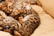 Продаются бенгальские коты и кошки