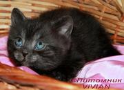 Британские дымные котята из питомника VIVIAN.