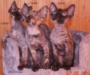 Продам породистых котят породы девон рекс.