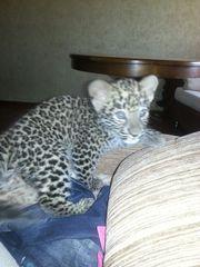 Ручные леопардики.