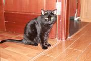 Пропал кот,  окрас черный,  на грудке маленькая белая полоска