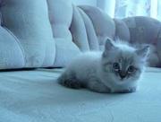 Отдам котят невской Маскарадной породы