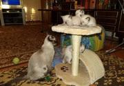 Целых четыре маленьких комочка Сиамской породы