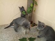 Милейшие котята породы русская Голубая