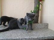 Котята породы Русская Голубая в добрые руки