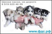 Сибирский Хаски,  Щенки 2 м,  серо-белые (волчий тип) и черно-белые
