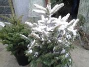 елки к новому году