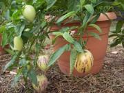 Пепино- дынная груша экзотическое растение