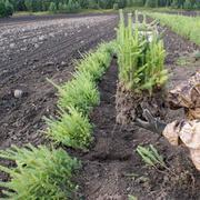Сеянцы ели сибирской  30-40 см