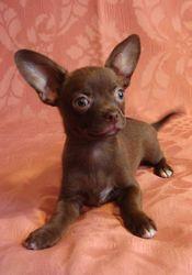 Чихуа-хуа,  купить щенка,  мини,   шоколадные с белым и рыжая малышка.