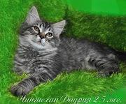 Cибирские котята от Чемпионов