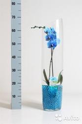 Орхидея фалеонопсис синий в вазе