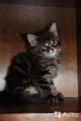 Котята мейн кун от крупных родителей