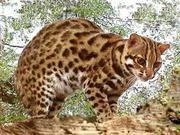 Купить АЛК Азиатский леопардовый кот можно у нас,  продам