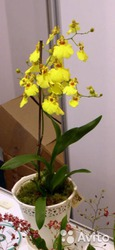 Орхидея онцидиум в горшке микс