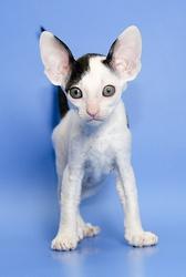 Корниш-рекс роскошные котята